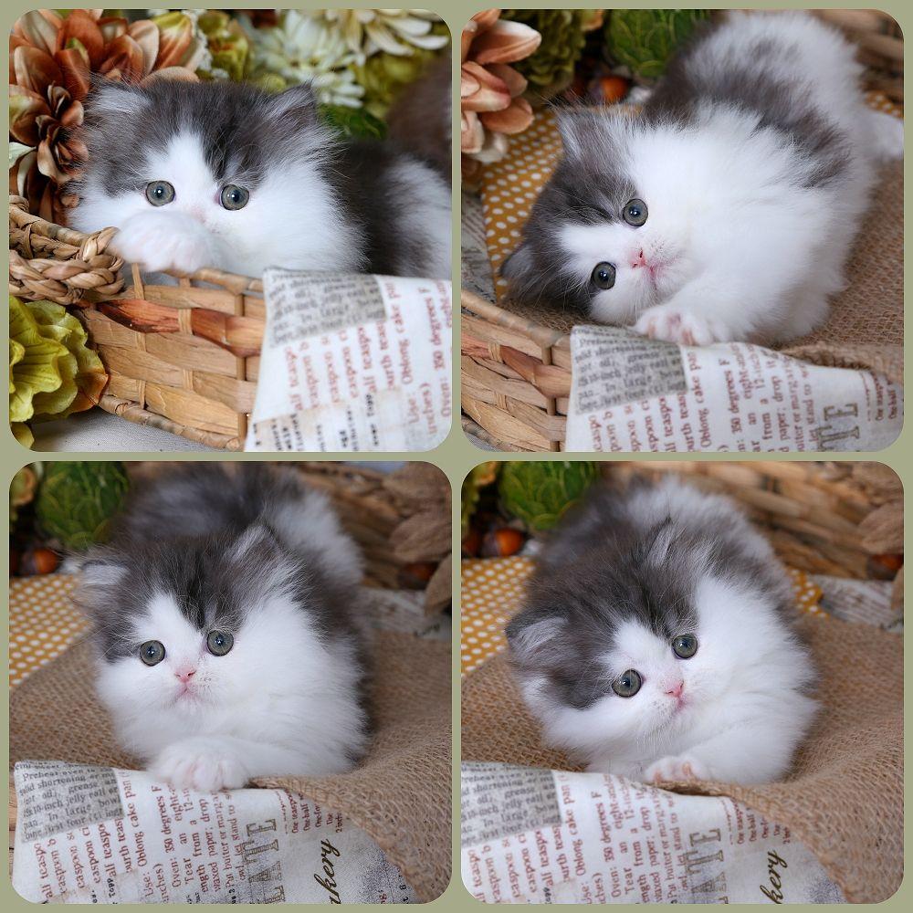 Black Smoke & White BiColor Persian Kitten For Sale