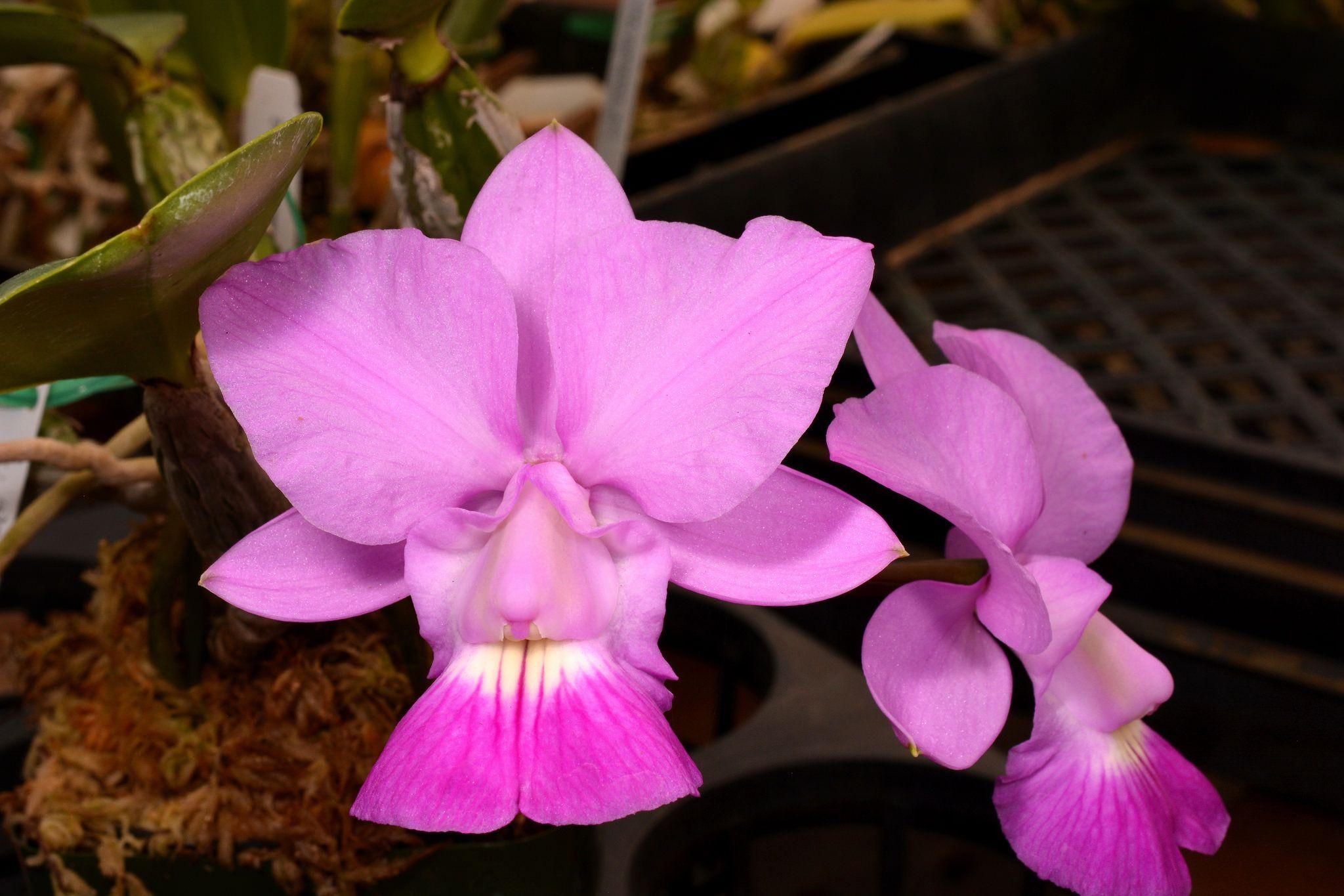 Cattleya Walkeriana Hiruzu X Santa Gertrudes Orchid