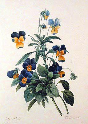 Une pens e sauvage pierre joseph redout flores de pierre joseph redout pinterest - Tatouage pensee fleur ...