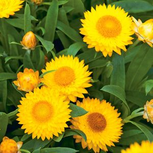 New xerochrysum bracteatum native paper daisy with golden yellow xerochrysum bracteatum native paper daisy with golden yellow flowers with a golden yellow eye once established they are heat and drought tolerant and will mightylinksfo