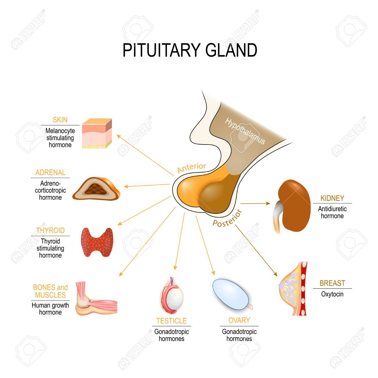 Pituitary Hormone Functions The Two Lobes Anterior And