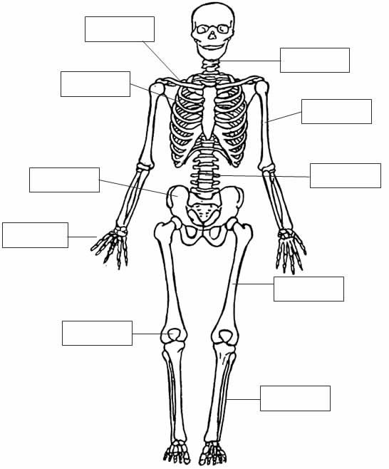 Dibujos para imprimir del sistema oseo - Imagui | School | Pinterest