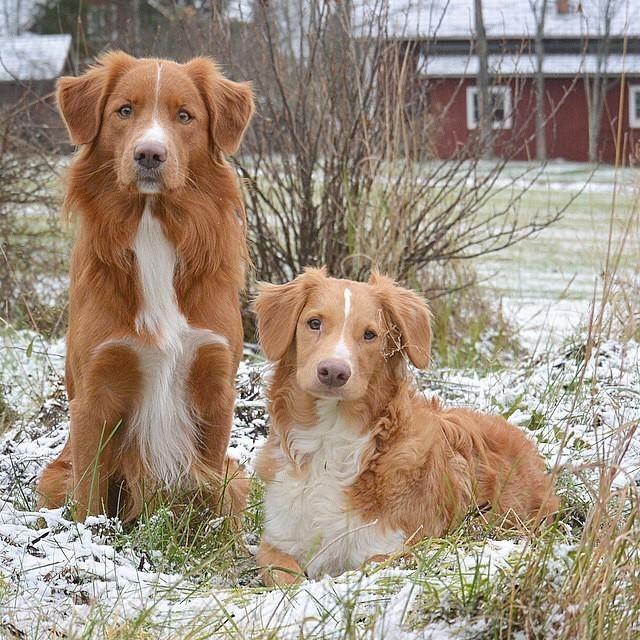 Nova Scotia Duck Tollers With Images Toller Dog Nova Scotia