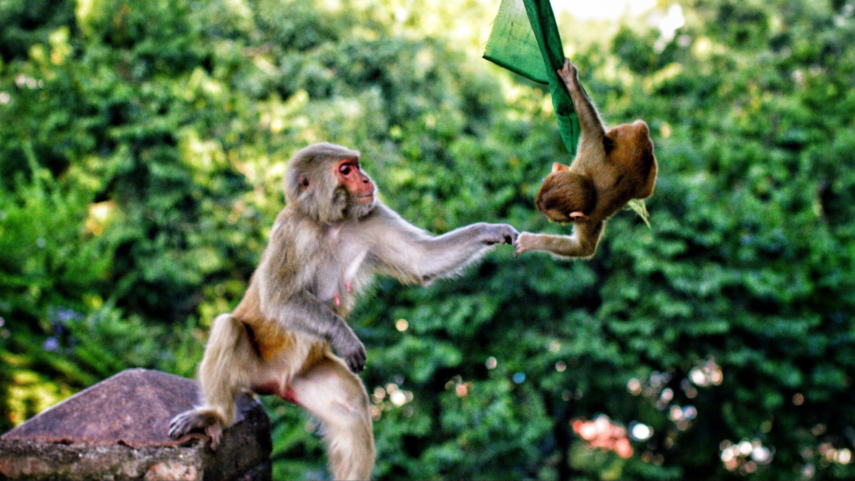 monkey temple in kathmandu monkey tes and met monkey temple in kathmandu