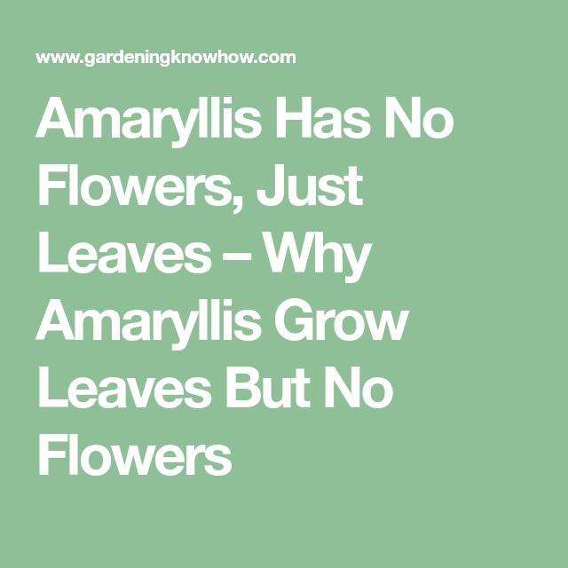 Amaryllis All Leaves And No Flowers Troubleshooting No Flowers On Amaryllis Flowers Leaves