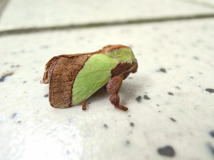 淡い緑で毒がある蛾 ヒロヘリアオイラガ 蛾 チャドクガ 蛹