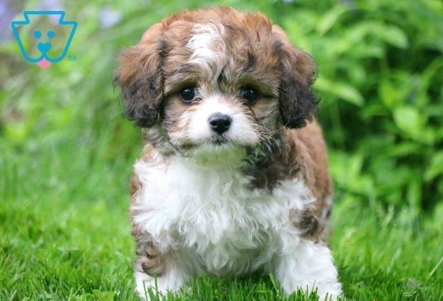 Pauly Cavachon Puppy For Sale Keystone Puppies In 2020 Cavachon Puppies Cavachon Cute Puppy Pictures