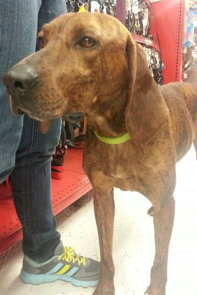 Adopt Cyrus On Big Dogs Dog Friends Plott Hound