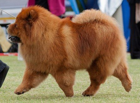 A Beautiifully Square Chow Struts Link Is To Chow Chow Related