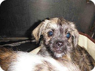 San Jose Ca Shih Tzu Mix Meet Christina A Puppy For Adoption