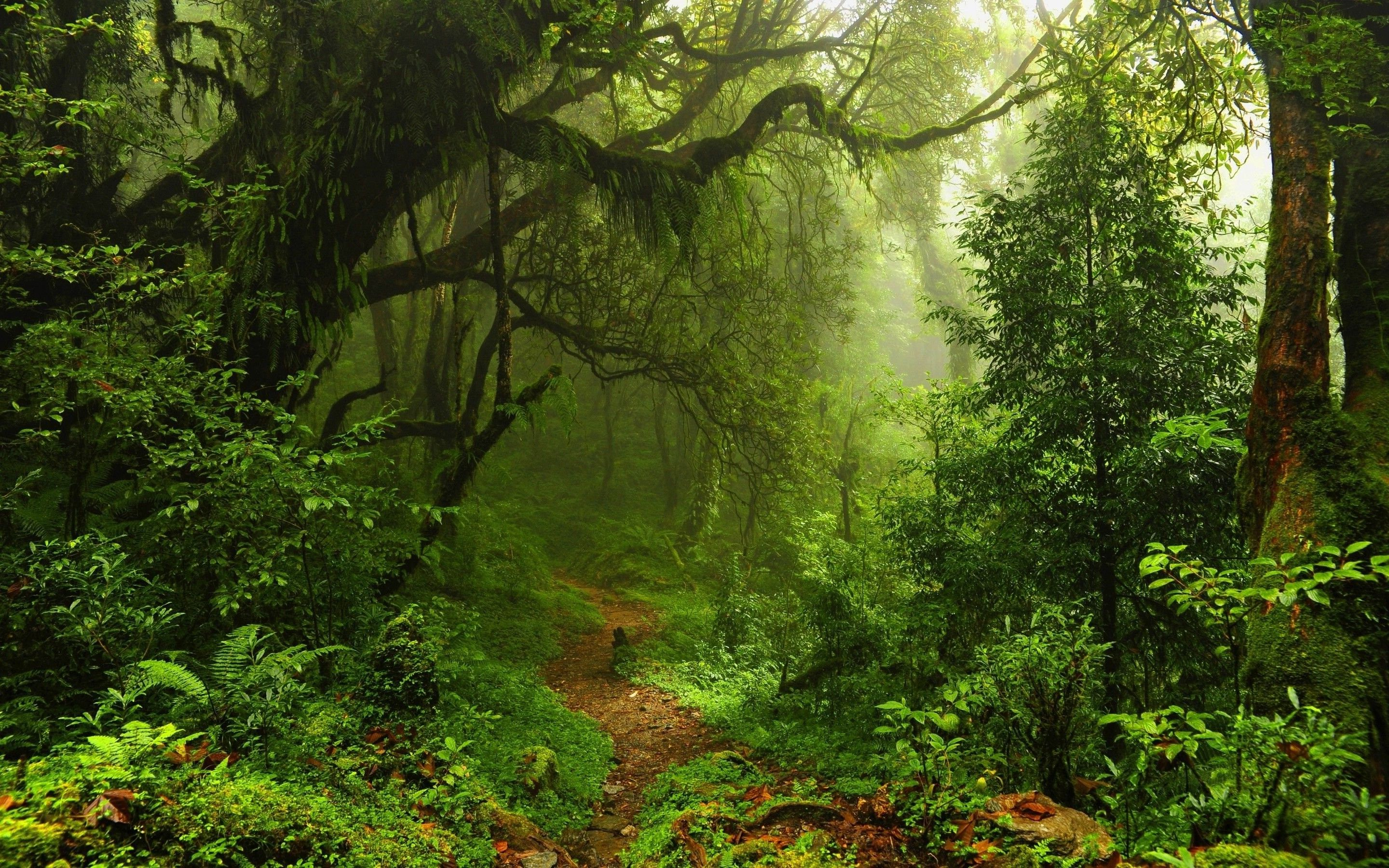 nature, Trees, Forest, Leaves, Lianas, Mist, Moss, Path