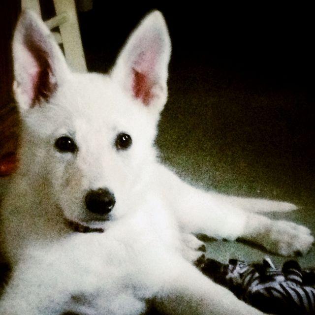 White German Shepherd White German Shepherd Dog Never Blue Eyes