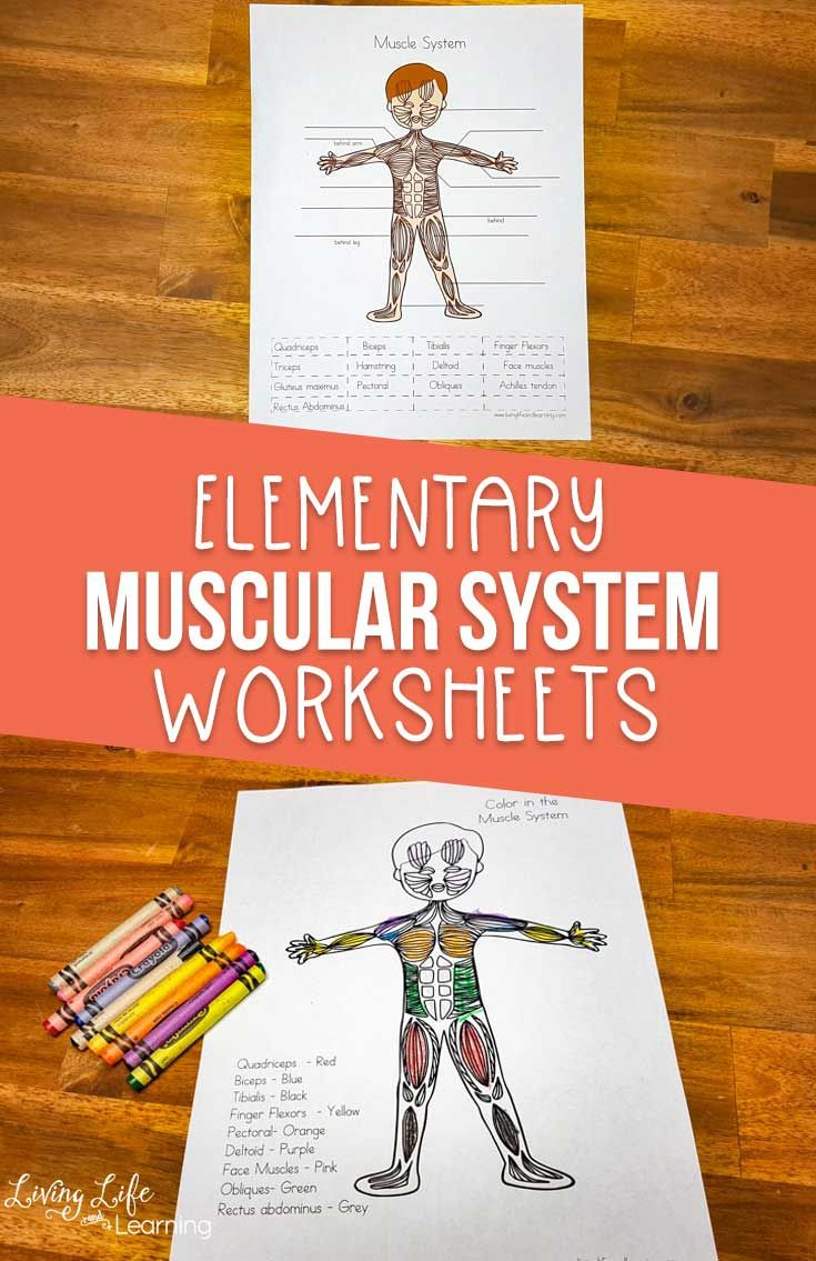 Muscular System Worksheets for Elementary Students | Muscular system, Muscle system, Elementary ...