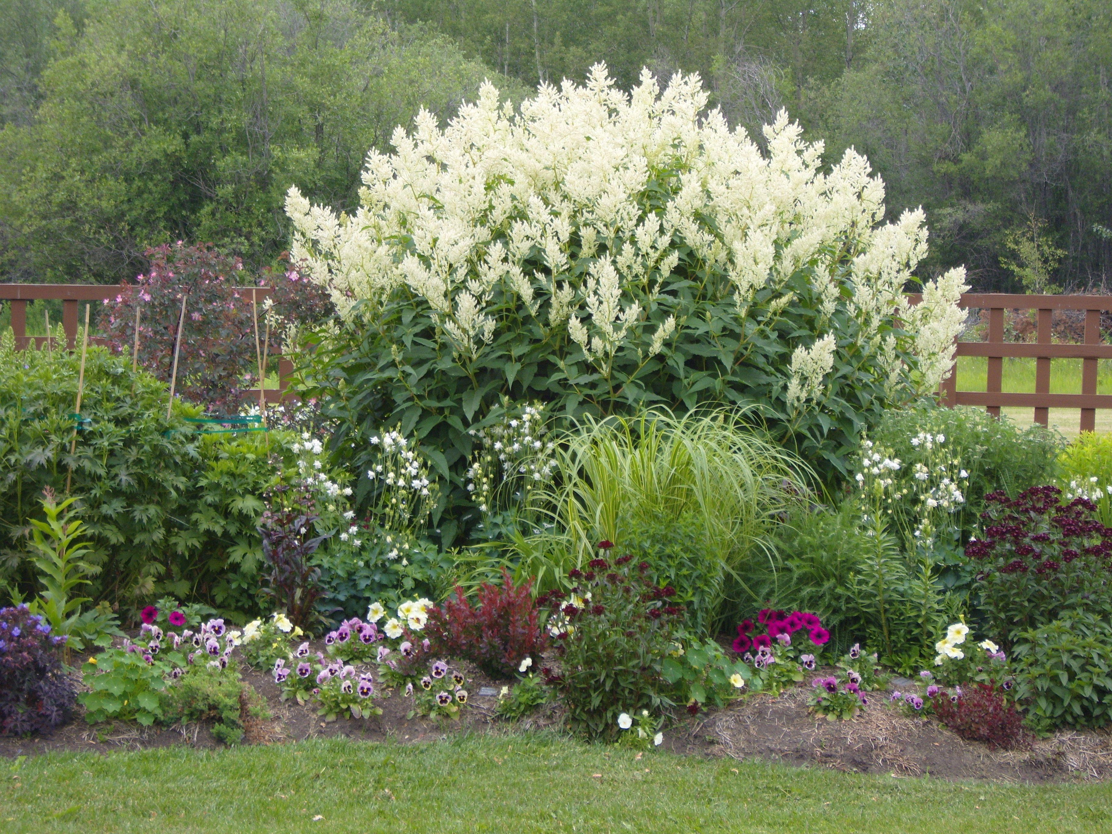 Giant white fleece flower plants for me pinterest garden giant white fleece flower mightylinksfo