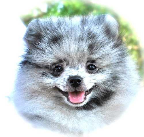 Pomeranian Puppies For Sale Pomeranian Breed Pomeranian Puppy