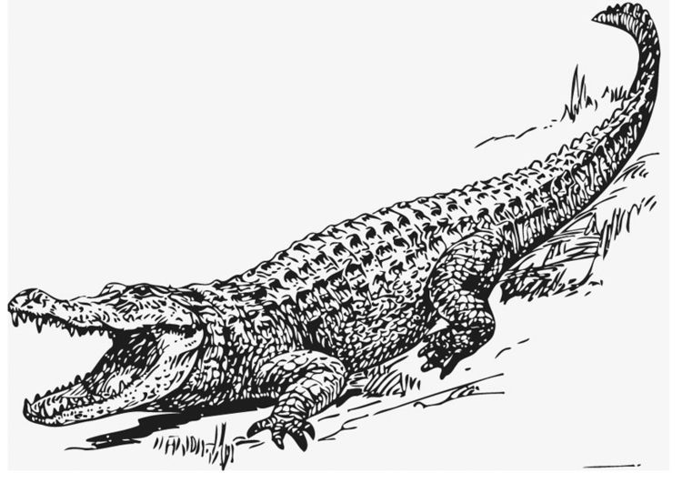 Coloring Page Alligator Img 13209 Leviathan Alligator