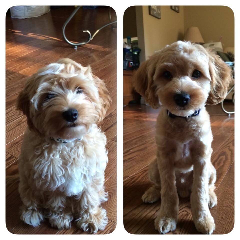 Cockapoo haircuts - Example Of Before And After Grooming Body And Legs Have Been Clipped