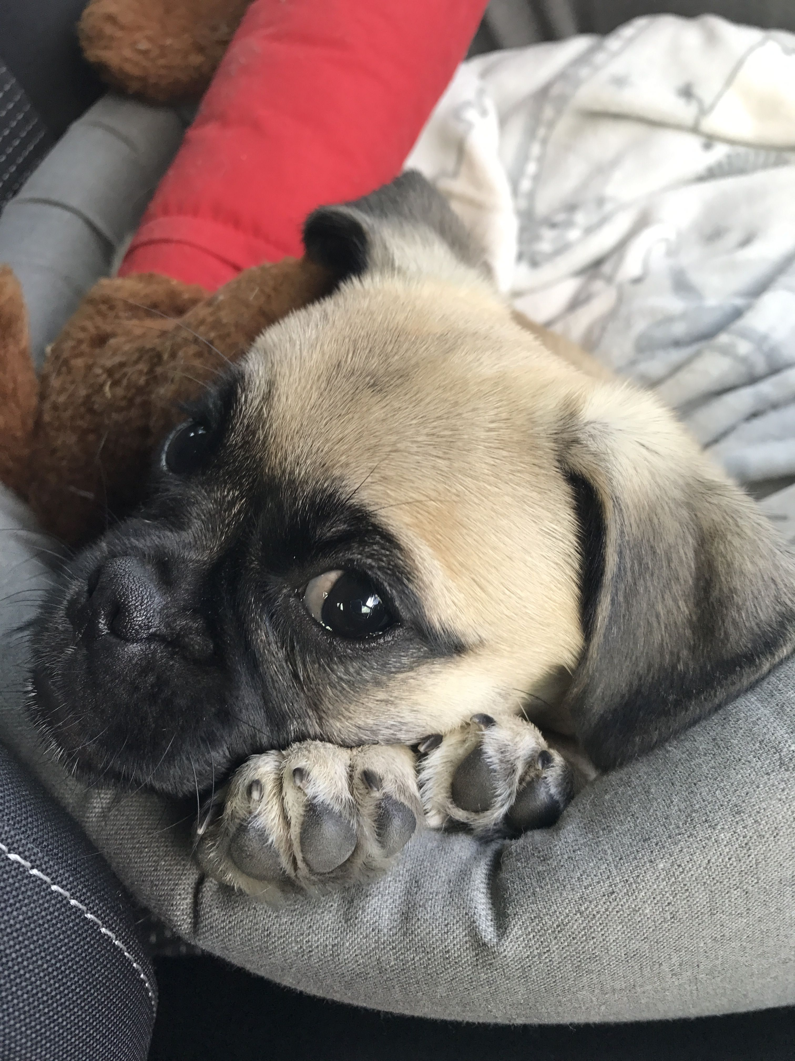 Tanner the rescue pug @apugcalledtanner on instagram