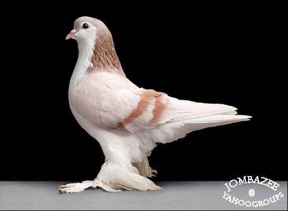 الايجيبشان سويفت الحمام الحمام الغزار انواع الحمام انواع وصور الحمام حمام شامية حمام كش حمام للكش صور حمام ص Pigeon Breeds Pigeon Pictures Pigeon Bird