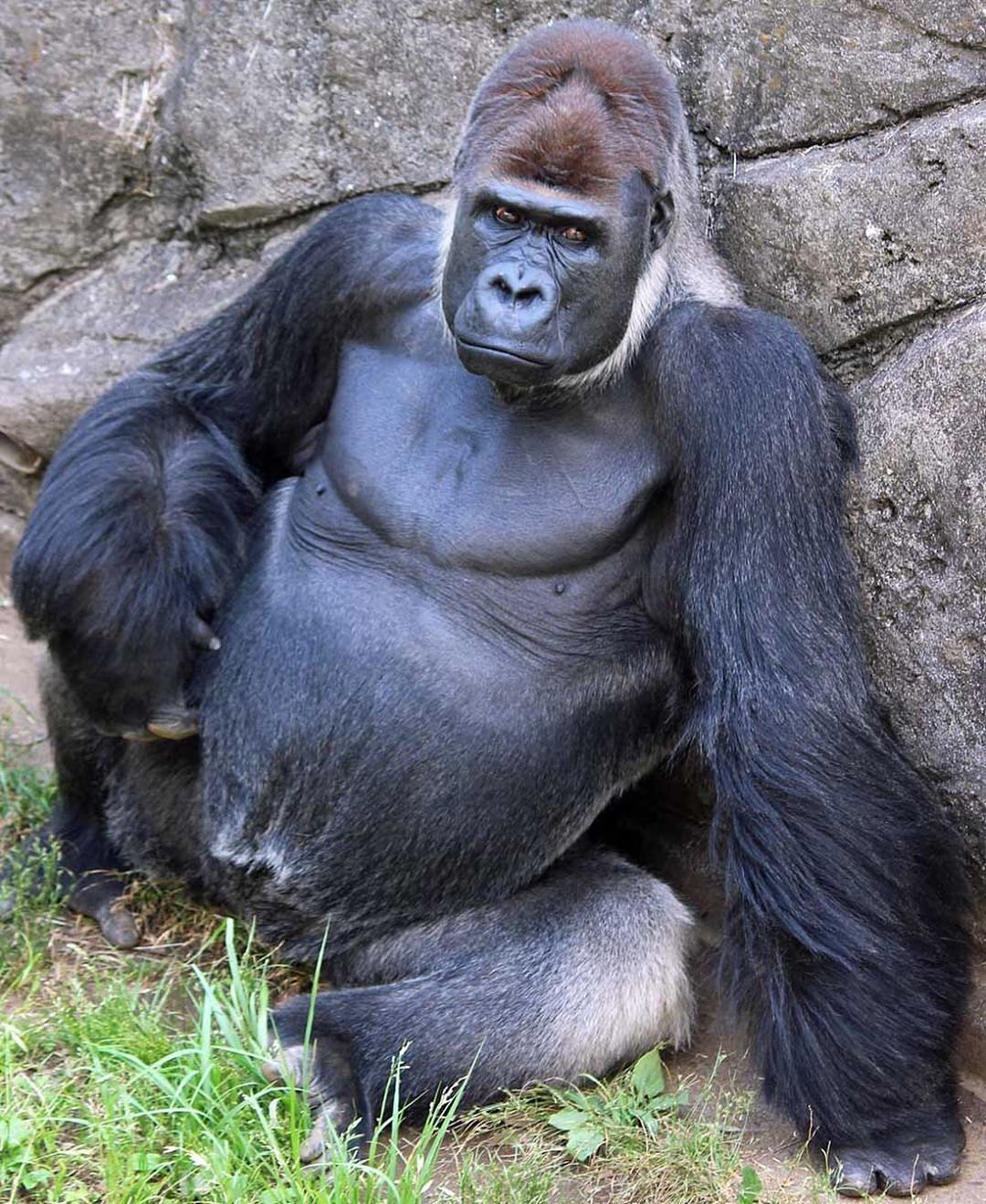 Sexy Gorilla In Japan Makes Women Swoon The Mercury News