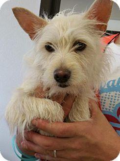Tonawanda Ny Westie West Highland White Terrier Chihuahua Mix