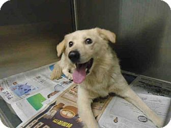 Golden retriever puppies for adoption in los angeles