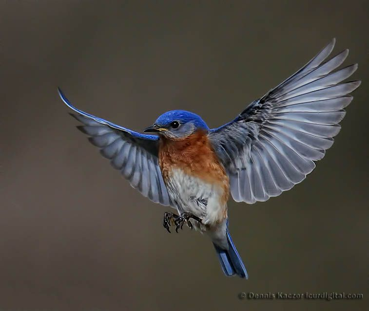blue birds | Eastern Bluebirds | Birds | Pinterest | Bird ...
