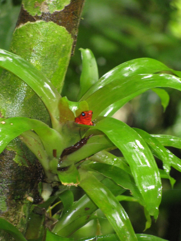 Poisonous Frog Seen In Veragua Rainforest Costa Rica