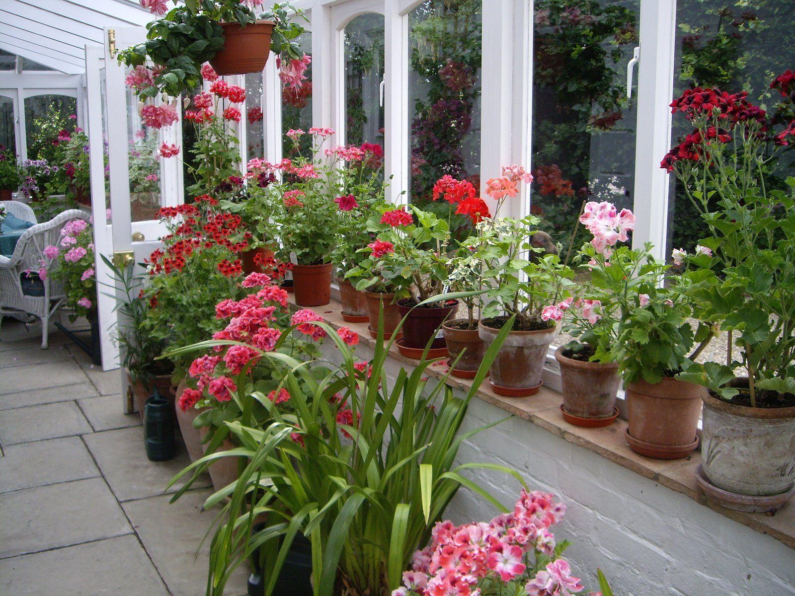 backyard greenhouse geraniums pinterest backyard greenhouse