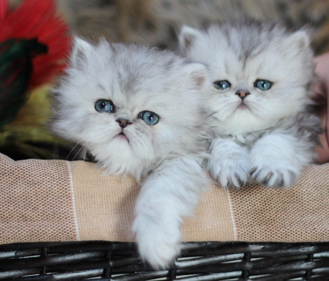 Pure Royalty Persians Persian Kittens Persian Cat Breeders Persian Cat