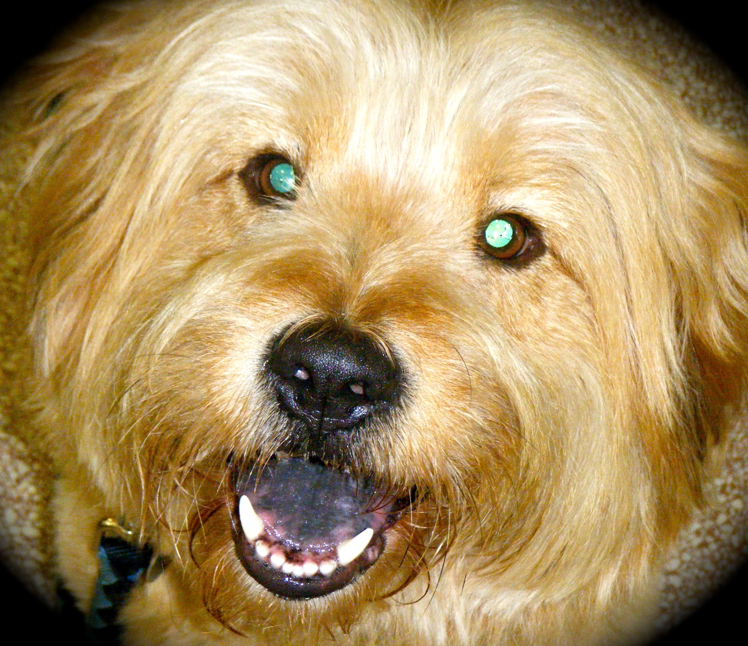 Riley A Wheaten Terrier Chow Chow Mix Humane Society Chow