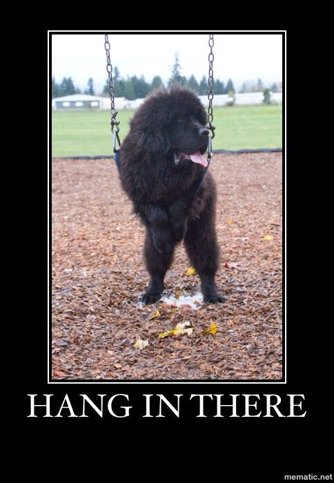 Hang In There Notta Bear Newfoundlands Newfoundland Dog