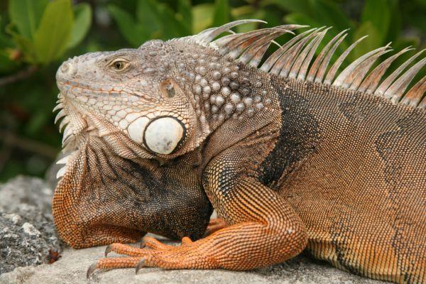 Description FL Iguana.jpg