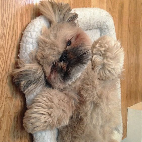 Dog Honking And Reverse Sneezing What You Need To Know Shih Tzu