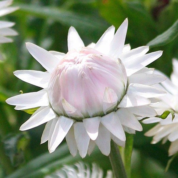 Weiße Blüten mit einem Hauch von Rosa überzogen verleihen dieser ...