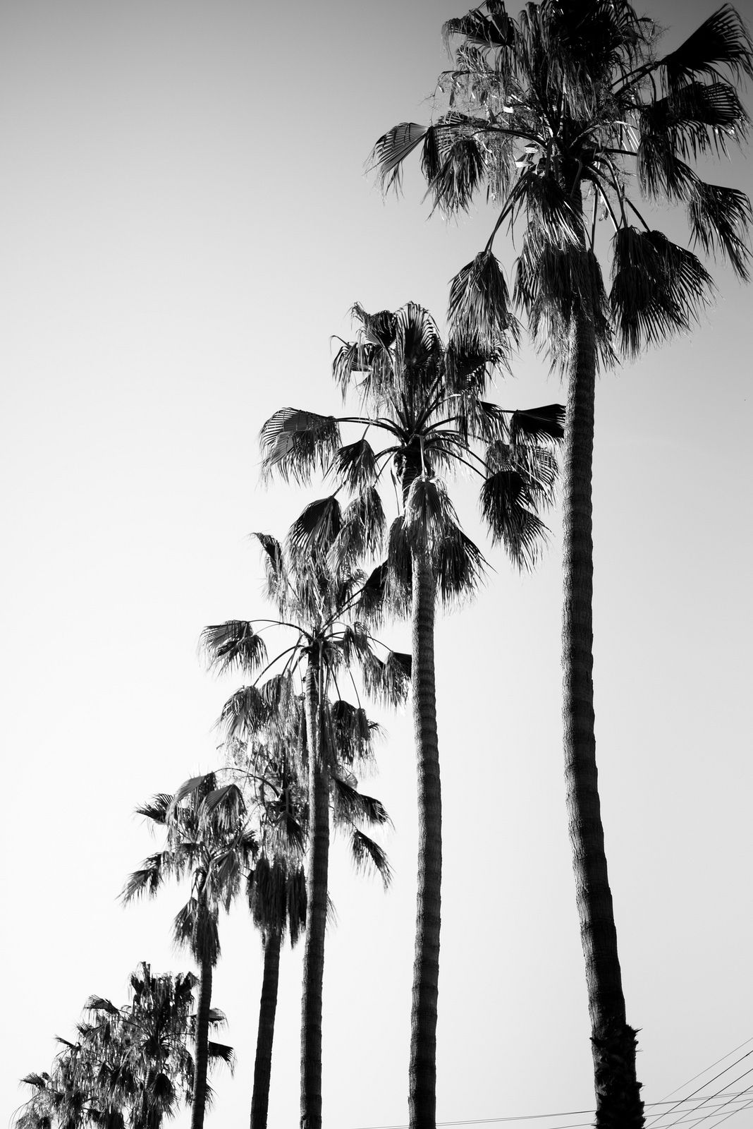 Cape Town Palm Trees Palm trees, Black and white