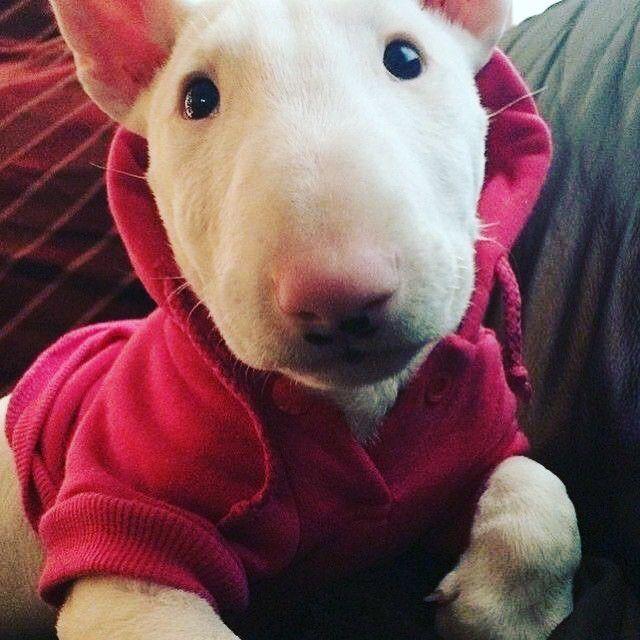 Bullterrierlovers On Instagram Oi Galera Muito Frio Ai Bull Terrier Cute Animals Bull Terrier Puppy