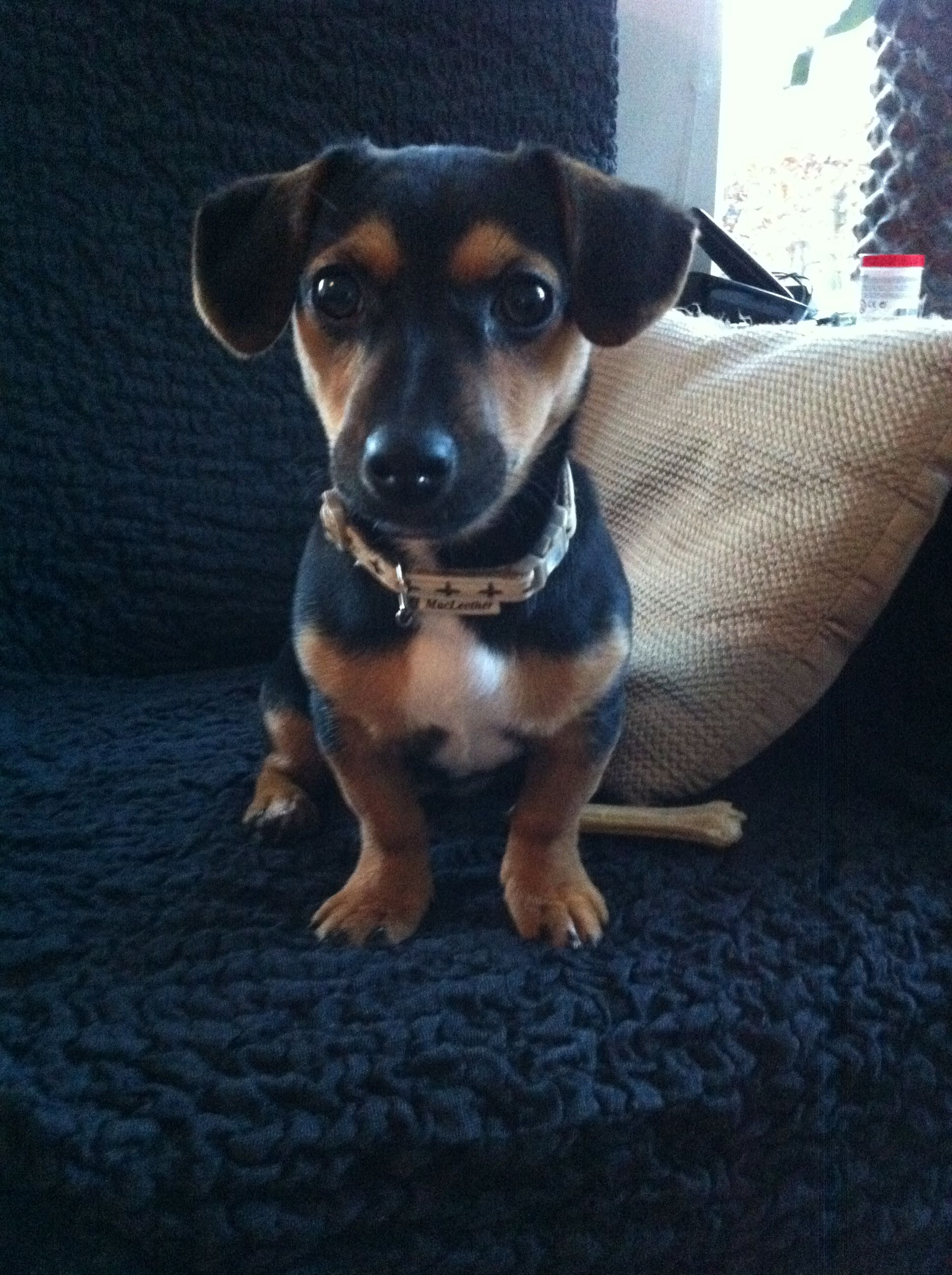 4 Months Old Jack Russell Black Tan Jack Russell Puppies Dog