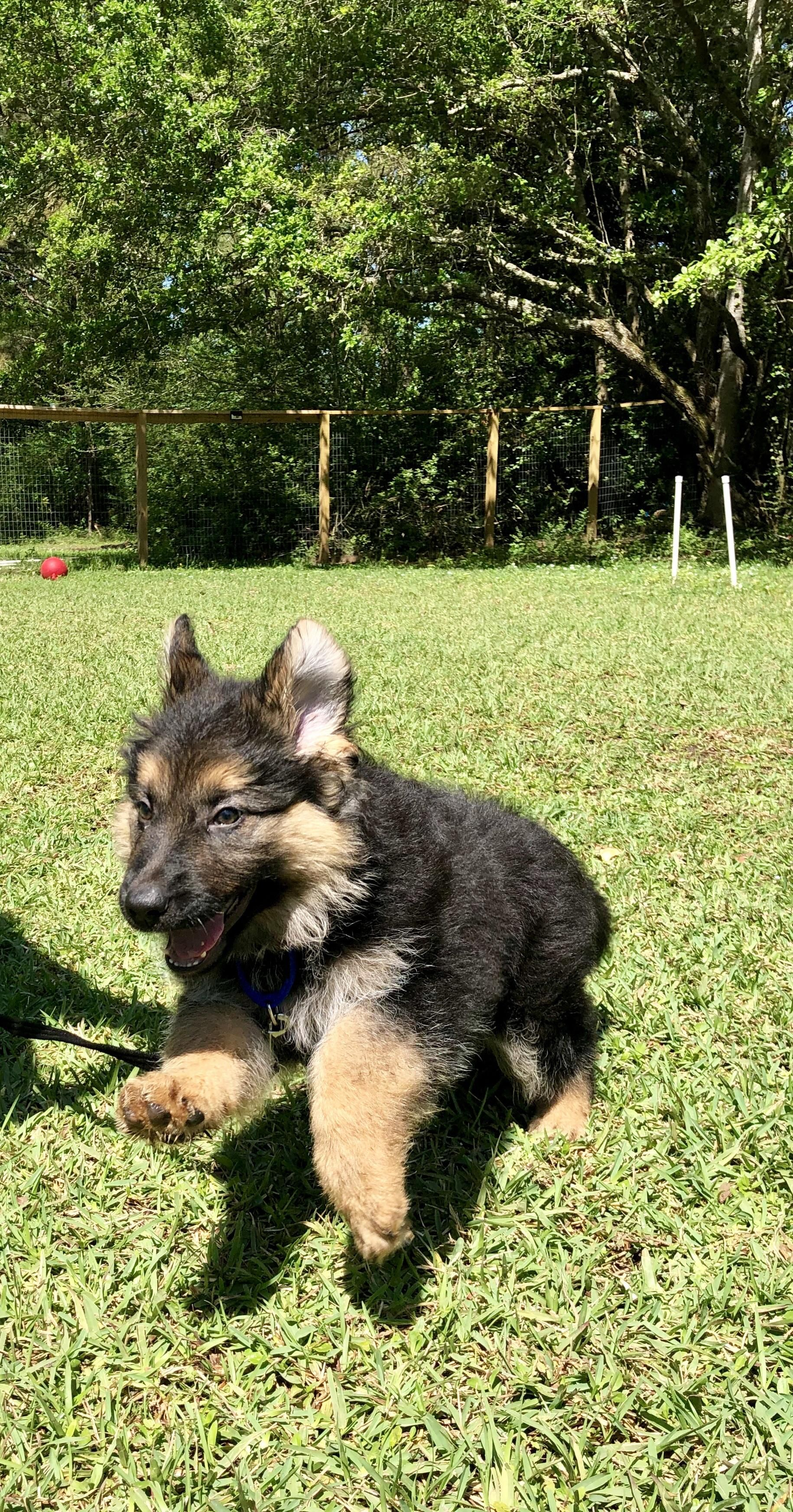 My 9 Week Old Gsd Playing In The Sunshine Music Indieartist