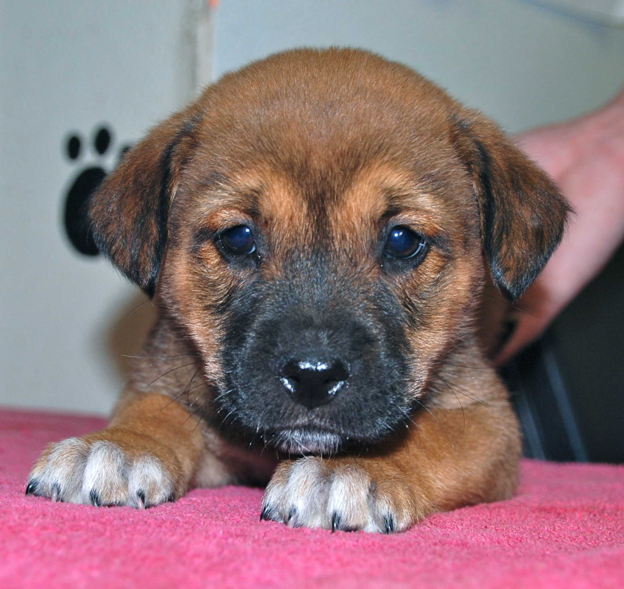 Tallulah is a female hound mix puppy. For adoption