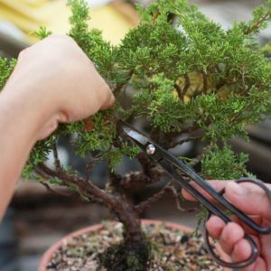 Bonsai schneiden: Das richtige Vorgehen für den perfekten Schnitt – Plantura