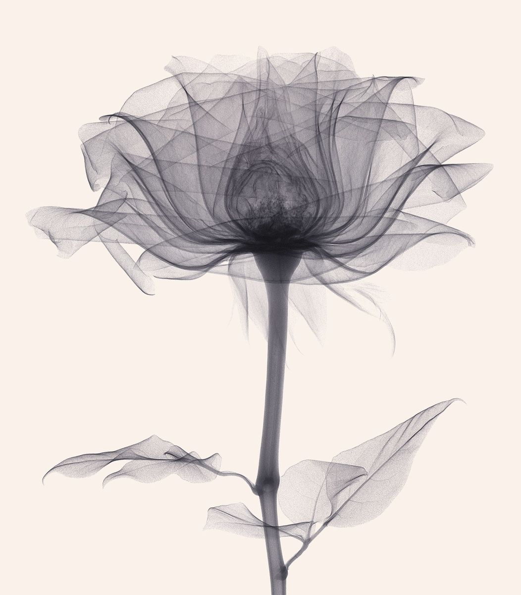 Trunk archive flso20150613009 xray flower black and