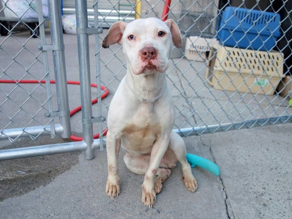 Brooklyn Center BRITISH - A0997411 FEMALE, WHITE / BROWN, PIT BULL MIX, 1 yr STRAY - STRAY WAIT, NO HOLD Reason STRAY Intake condition NONE Intake Date 04/22/2014, From NY 11216, DueOut Date 04/25/2014, Medical Behavior Evaluation GREEN https://www.facebook.com/photo.php?fbid=792824730730408&set=a.617941078218775.1073741869.152876678058553&type=3&theater