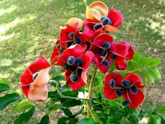 Perle De Zanzibar Guadeloupe Fleurs Guadeloupe Antilles