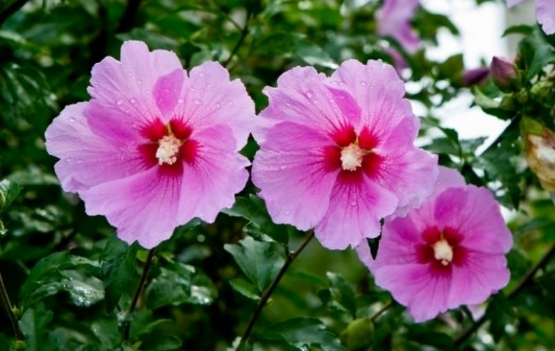 Rose of Sharon national flower of South Korea. (With