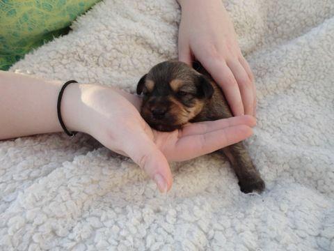 Litter Of 8 Yorkie Poo Puppies For Sale In Huntersville Nc Adn 23785 On Puppyfinder Com Gender Female Age 2 Yorkie Poo Yorkie Poo Puppies Puppies For Sale