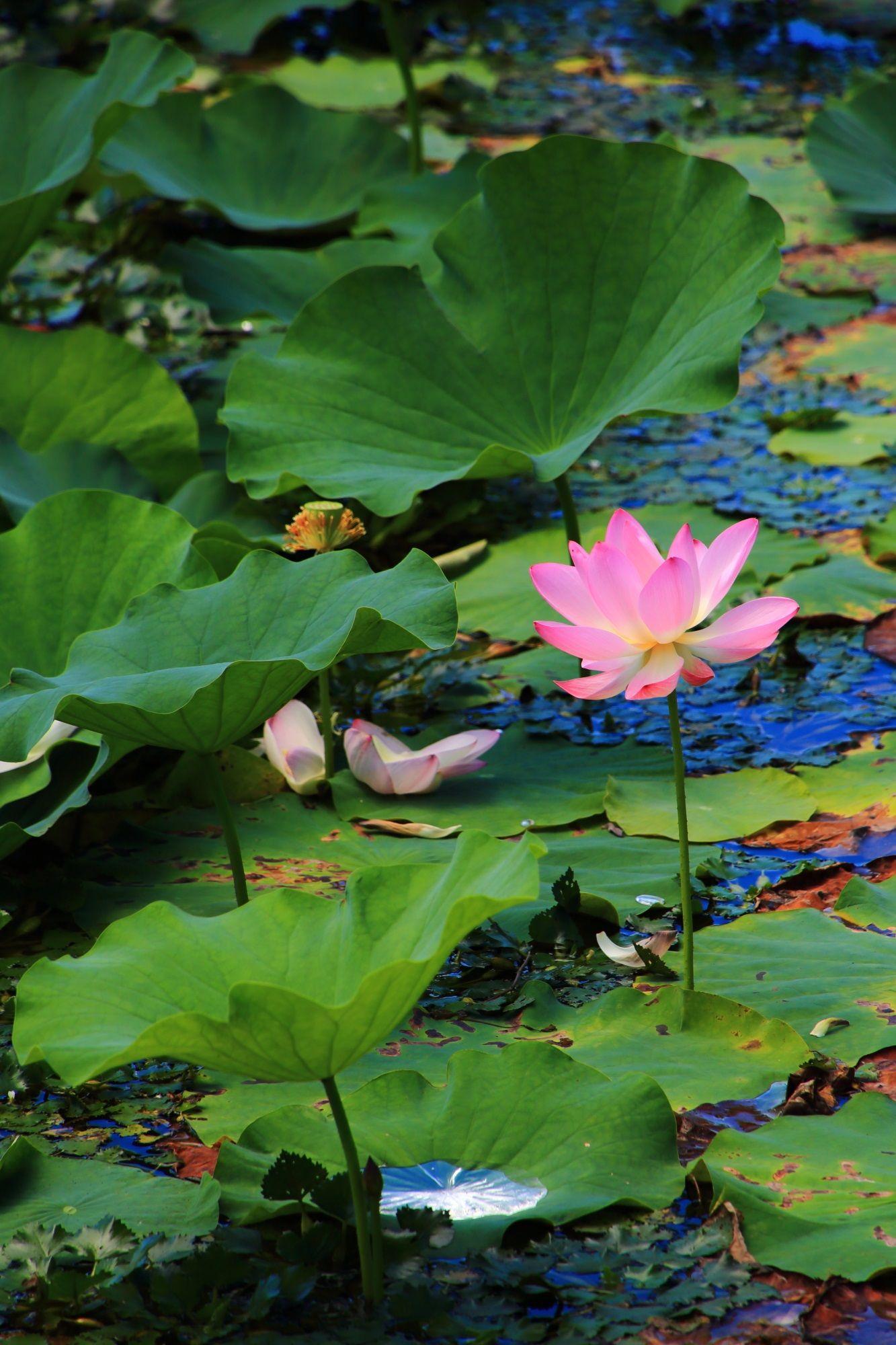 京都大覚寺の大沢池の見事な蓮 蓮の花 蓮の絵 花