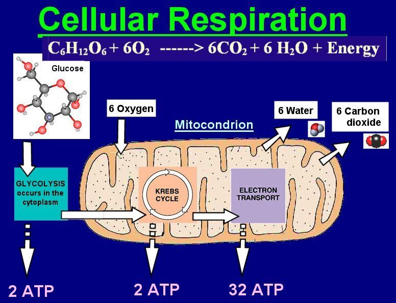 1000 images about cells photosyn vs respiration on pinterest  : cell respiration diagram - findchart.co