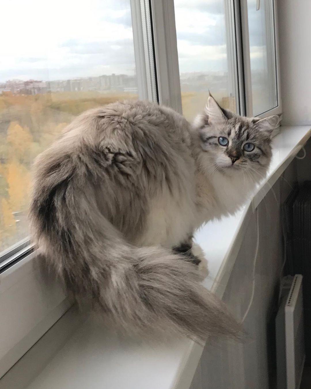 Our beautiful mom... Siberian cat, Siberian forest cat