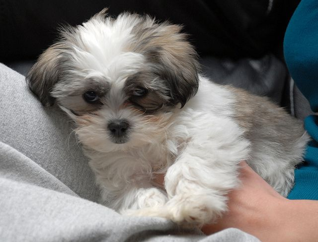 Maltese Shitzu My Doggy Ill Hopefully Be Adopting Soon In A Few